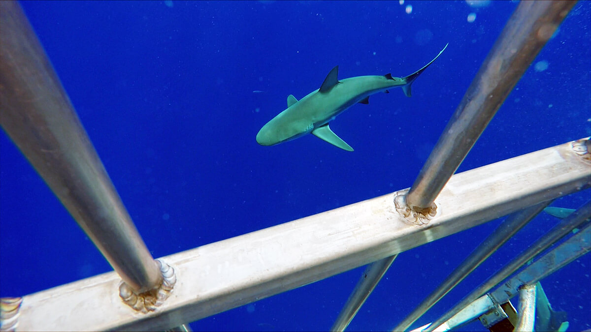 A look at a Galapagos shark on the Hawaii Shark Encounters tour from the cage Top things to do in Hawaii