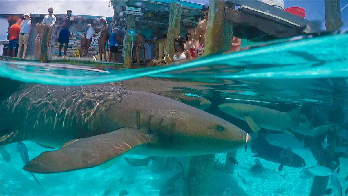Nurse Sharks in Compass Cay Over Under Things to do in Exuma