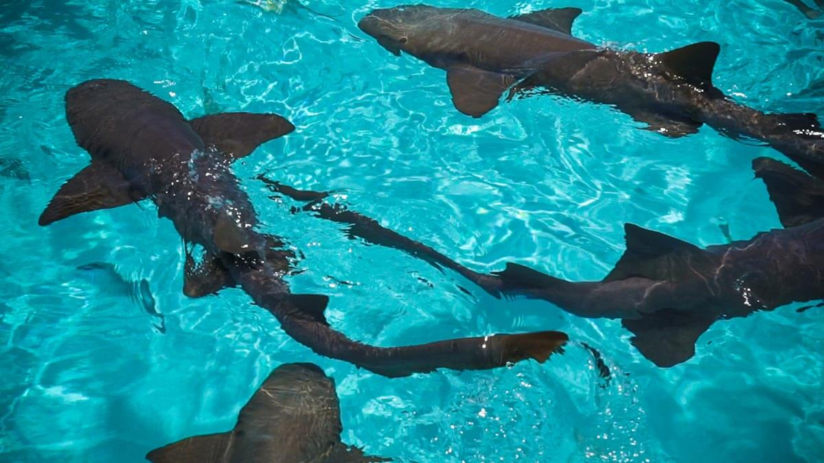 Nurse Sharks in Compass Cay Things to do in Exuma