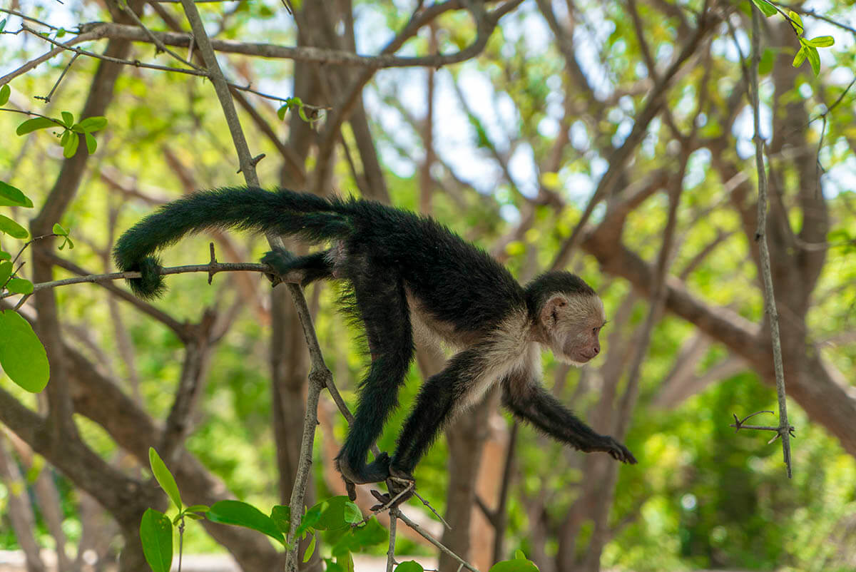 planet-hollywood-beach-resort-costa-rica-review-monkey-white-faced