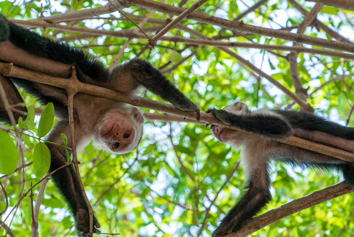 planet-hollywood-beach-resort-costa-rica-review-monkeys